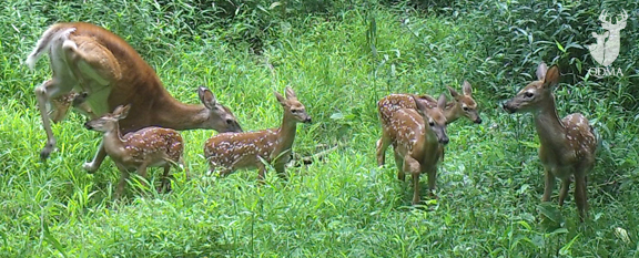 doe-6-fawns-QDMA