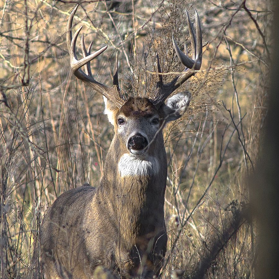 Arkansas Game and Fish Expects Lower Turnout for 2016 Deer Seasons