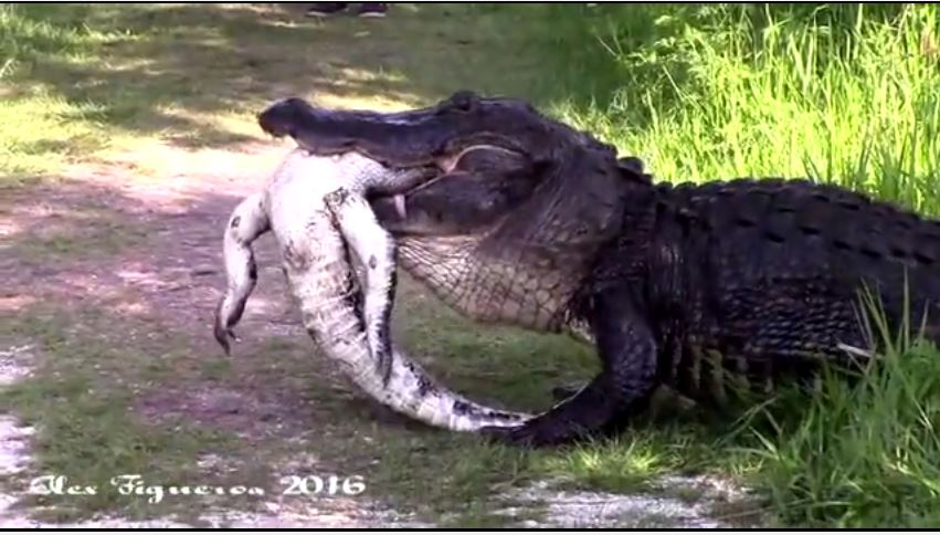 Watch:  Alligator Consumes Another Alligator