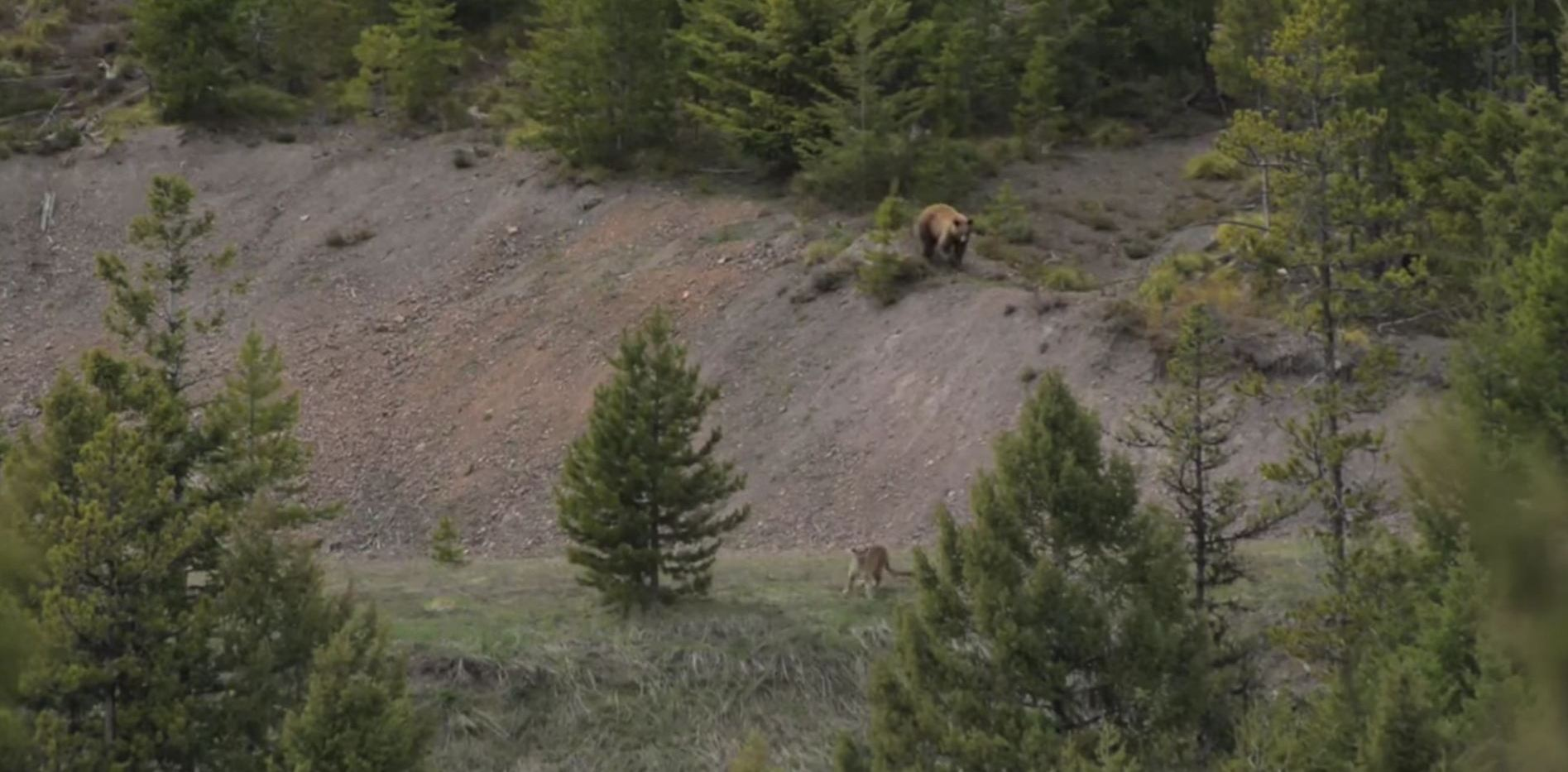 Watch:  Awesome Footage of a Mountain Lion and Bear Encounter
