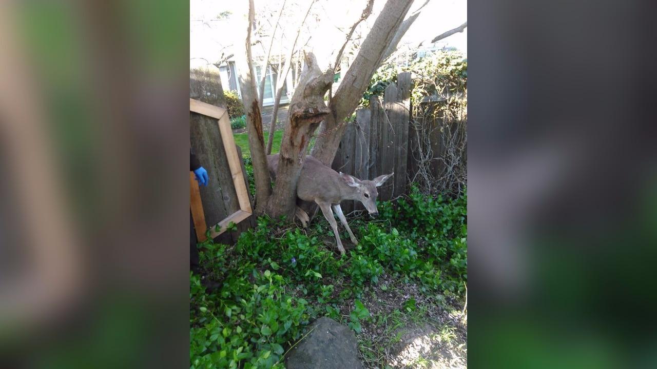 Deer Gets Stuck in Tree in Oregon