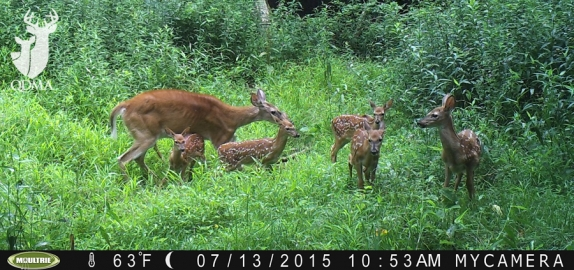 Doe with 6 Fawns Caught on Trail Camera