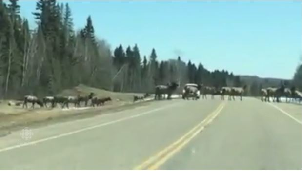 "Video: Herd of Elk Cause a ""Saskatchewan Traffic Jam"""