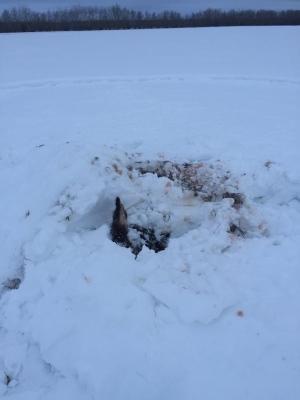 elk-remains-buried-in-snow