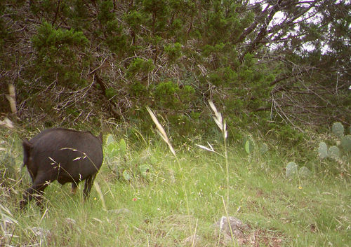 feral-hog-approaching-turkey-nest
