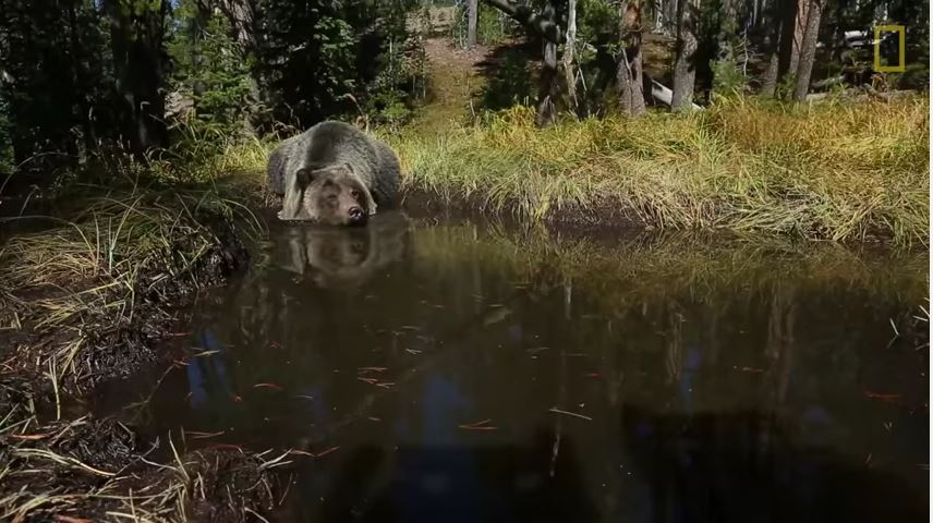 "Exclusive Video Captures Bears Bathing in Yellowstone's ""Bear Bathtub"""