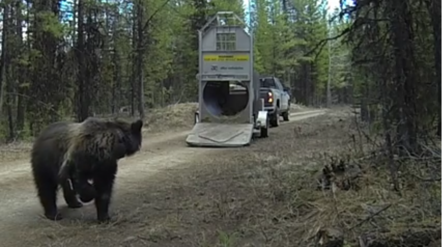 Video:  MT. Officials Release Captured Grizzly Bear