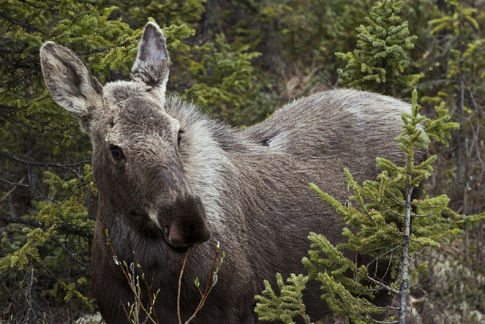 Mother Cited for Feeding Wildlife After Sons Gun Down Moose on Easter Sunday