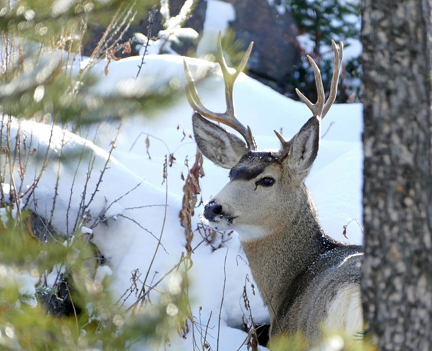 North Dakota's Mule Deer Populations on the Rise