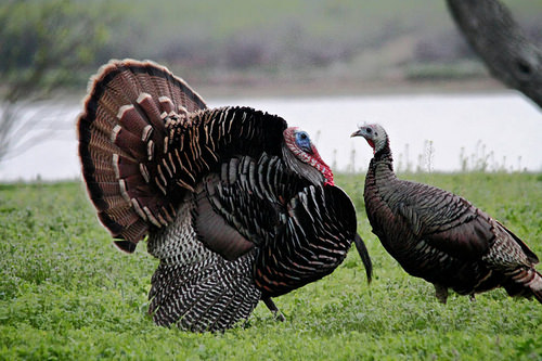 USDA Uncovers another Threat to Wild Turkeys