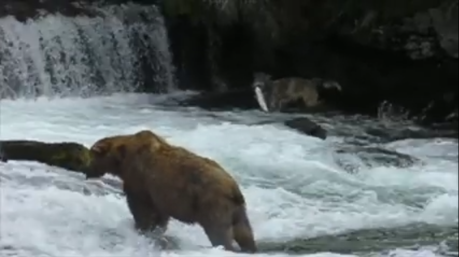 VIDEO: Wolf Shows a Bear How to Fish