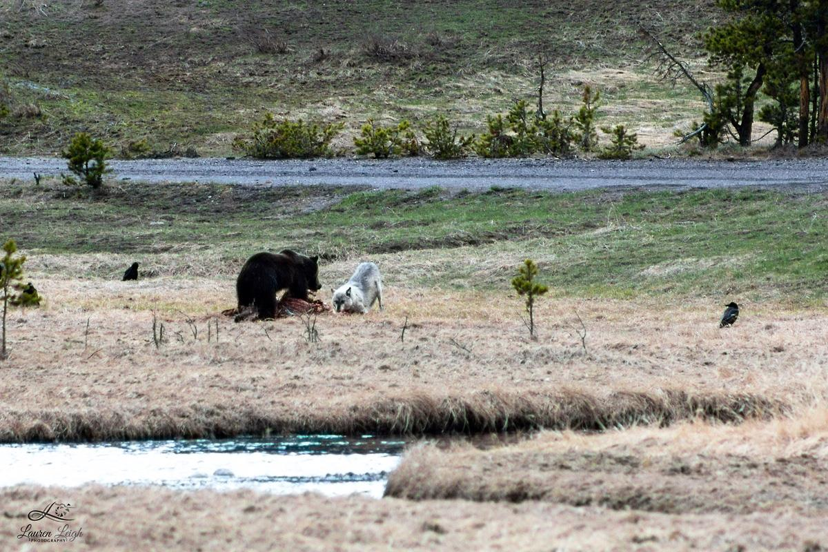 Wolf & Grizzly Face Off In Battle for Bison Carcass
