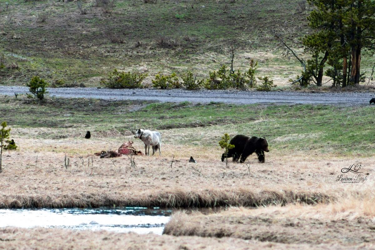 bear-retreats-from-wolf-yellowstone