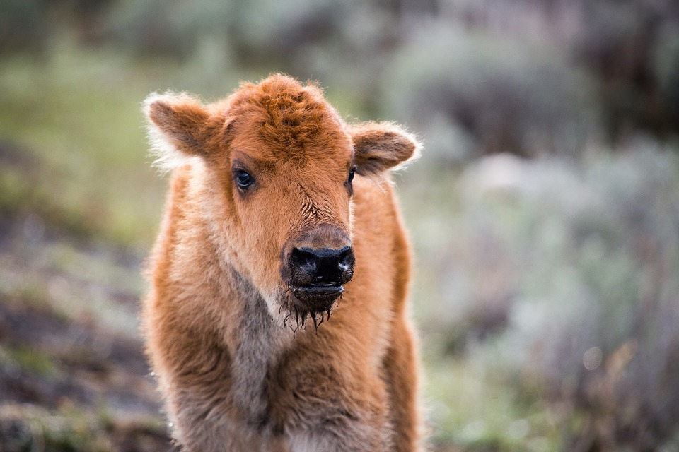 Update:  Bison Calf Euthanized After Tourists Put It In Vehicle