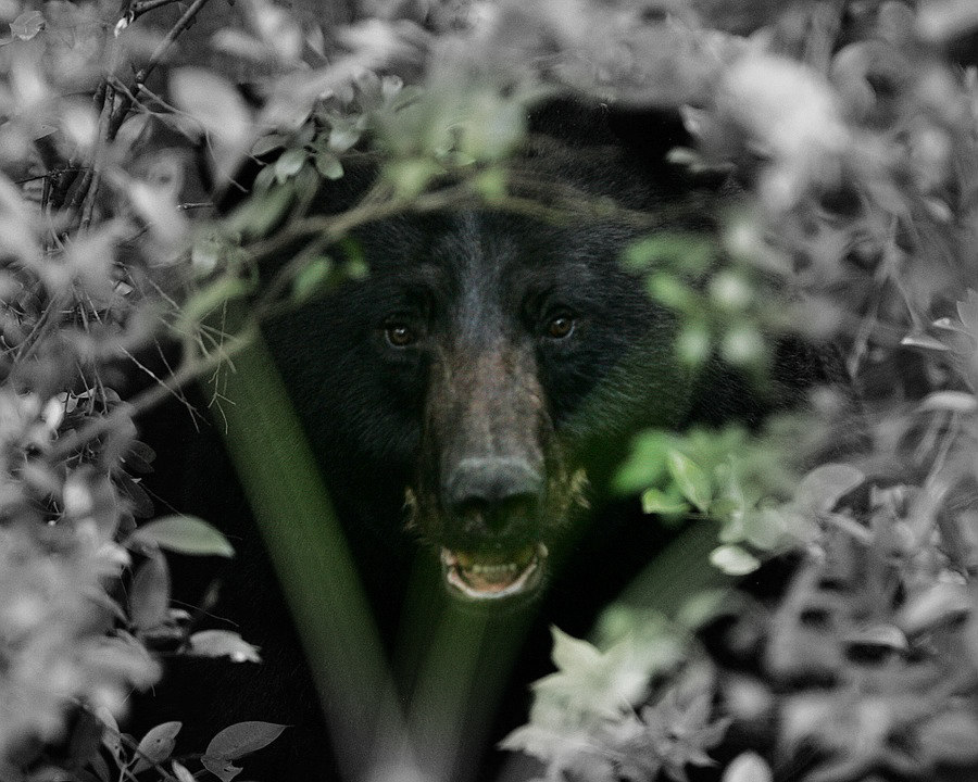 Missouri Poacher Slapped with $99.50 Fine For Killing Black Bear