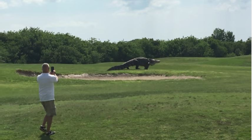 Huge Gator Strolls Across Golf Course