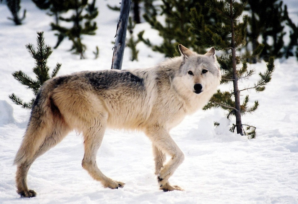 Montana Officials Propose to Triple Wolf Harvest Near Yellowstone Border