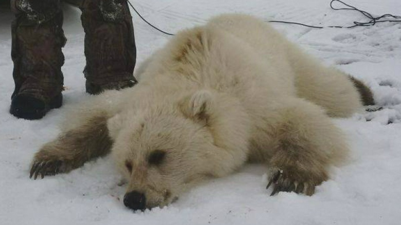 Rare Grizzly-Polar Bear Hybrid Shot by Hunters in Nunavut
