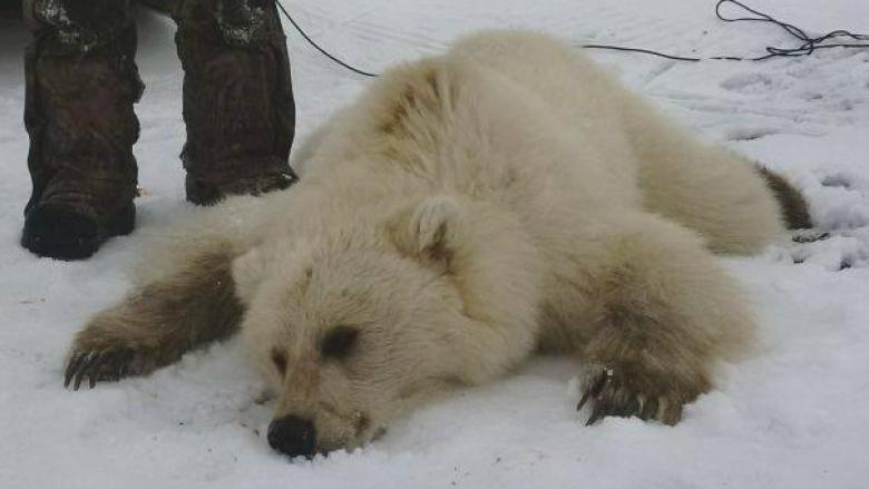 Rare Grizzly-Polar Bear Hybrid Shot by Hunters in Nunavut