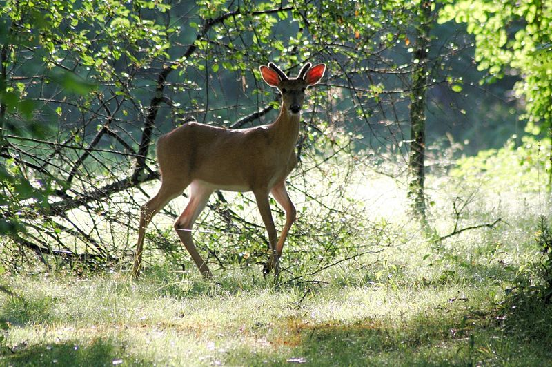 Tennessee Changes Legal Definition of a Buck for 2016-17 Hunting Seasons