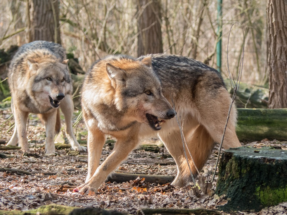 Montana Commission Shoots Down Wolf Hunting Quota Increases