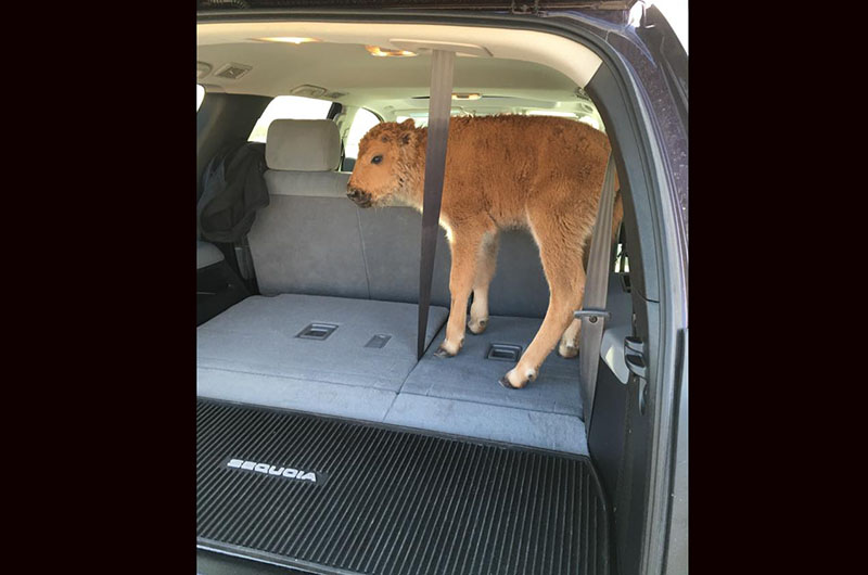 Yellowstone Tourists Capture Bison Calf in Their Car, Worried That It Was Too Cold