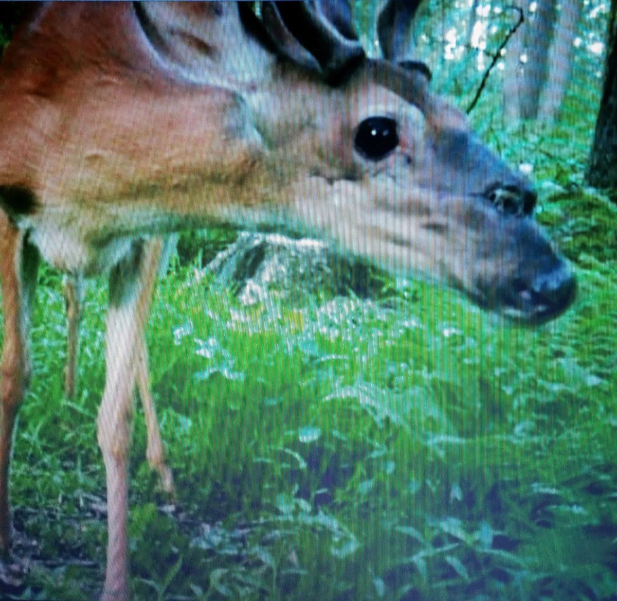 Watch:  Trail Camera Captures Deer With Odd Deformity on Head