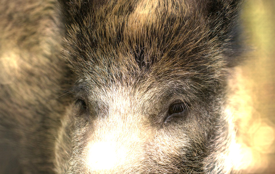 Missouri Plans Hog Hunting Ban