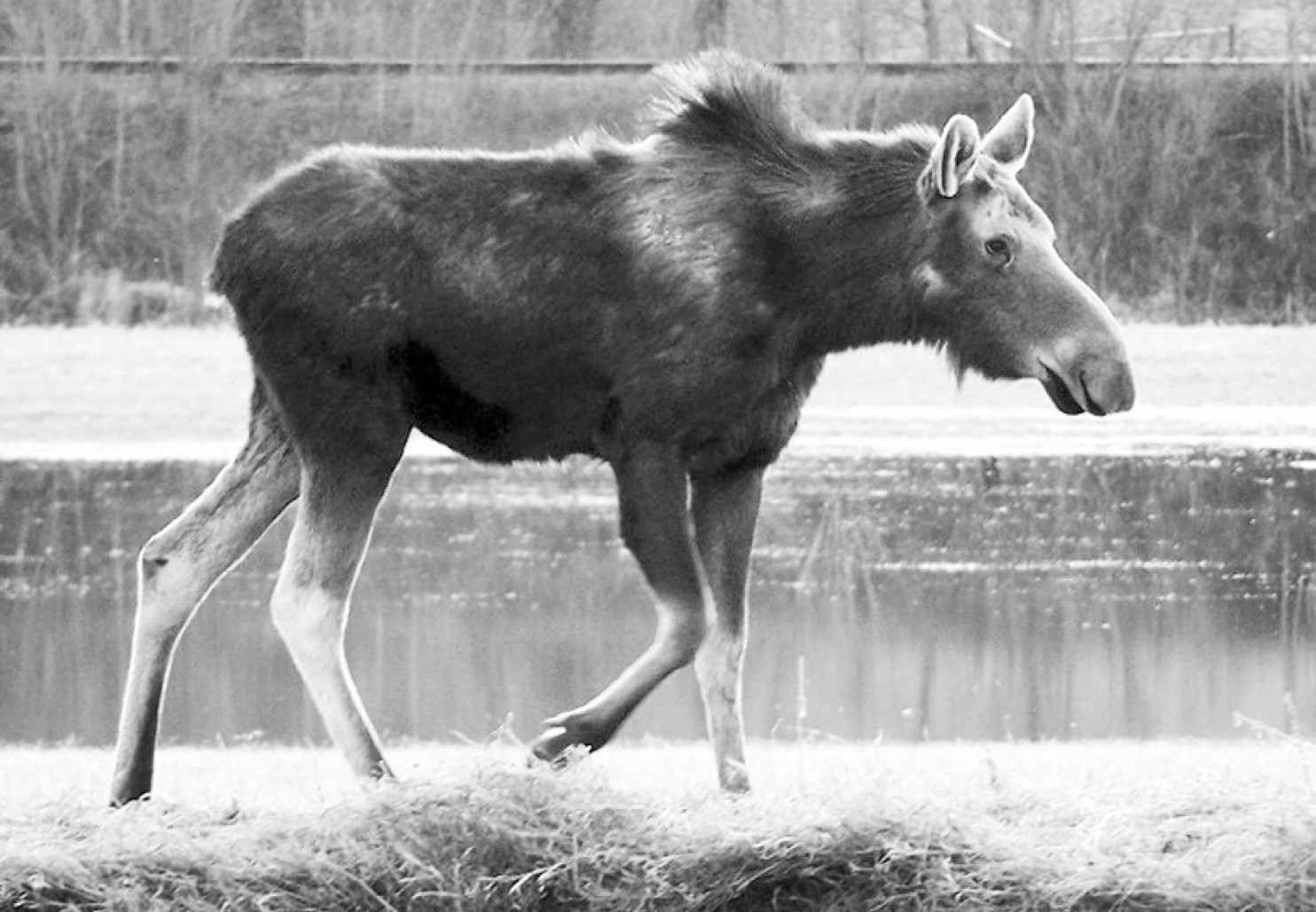 N.H. Moose Hunt Lottery at Historical Low
