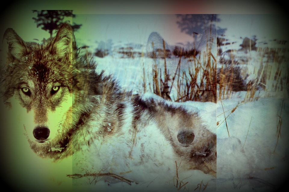 Wisconsin's Wolf Population on the Rise