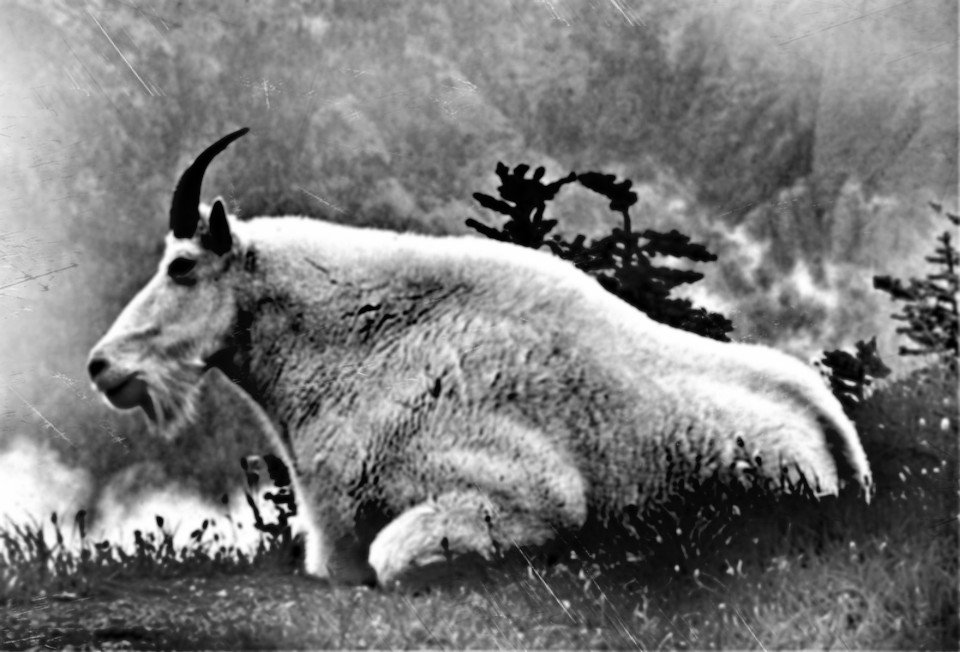 Utah Plans to Collar 30 Mountain Goats