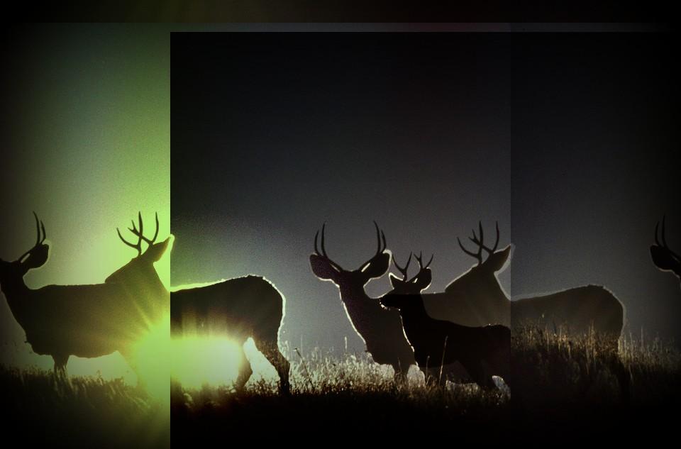 Mule Deer Populations Rebound in Southeastern Montana