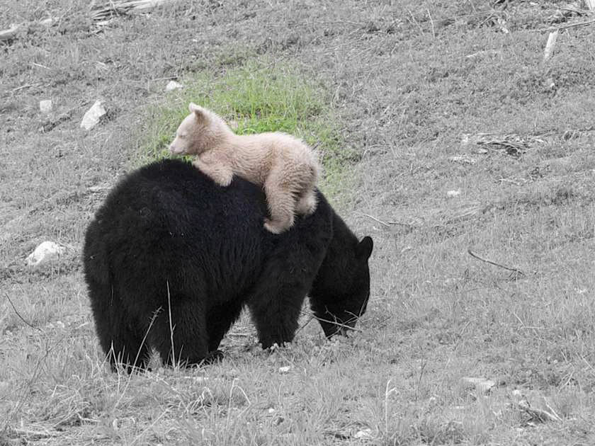 Unusual White-Colored Bear Cub Spotted in Whistler