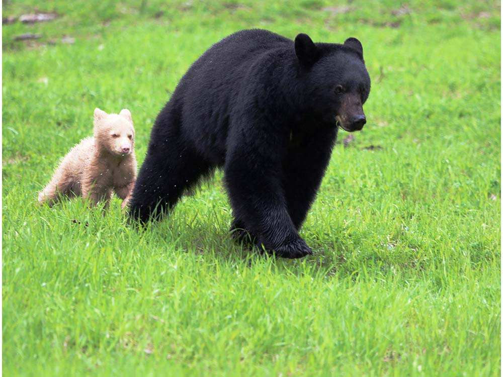whistler-bear-with-white-cub-following-close-behind