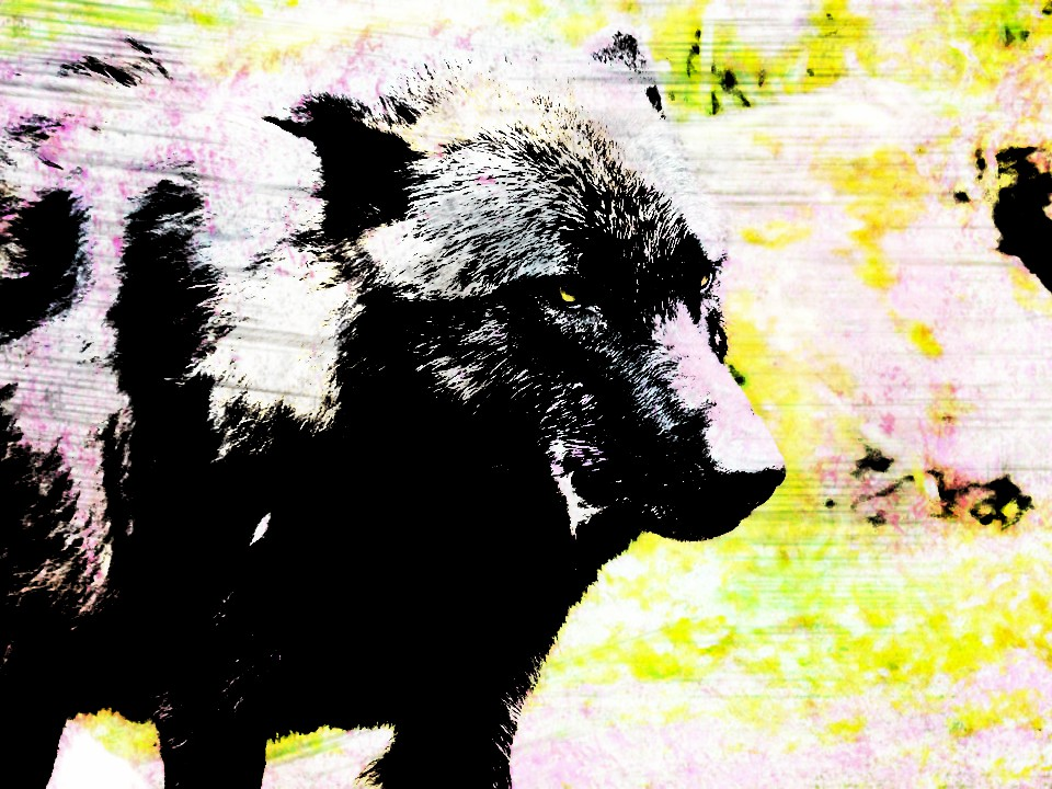 Wolf Warning in Effect for Pacific Rim National Park