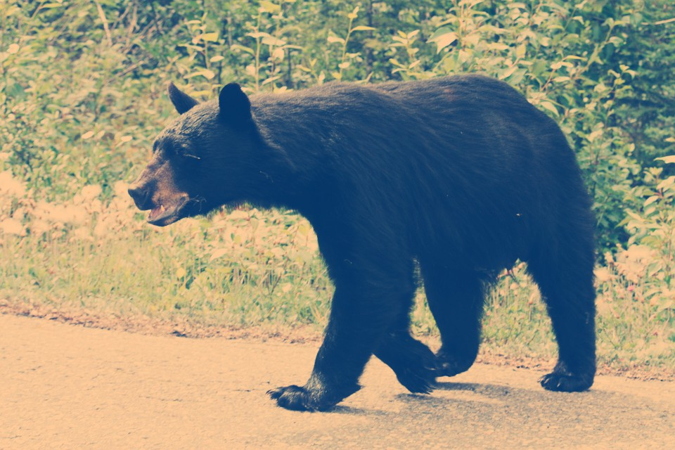 California Woman Receives Harsh Backlash and Death Threats After Shooting Nuisance Bear