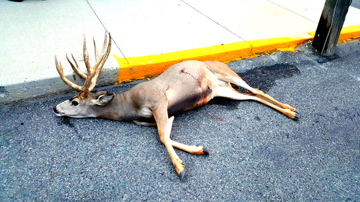 Mule Deer Falls in the Streets of Butte, $1k Reward for Information Offered