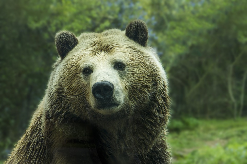 USFWS Reopens Comment Period on Delisting Yellowstone Grizzlies