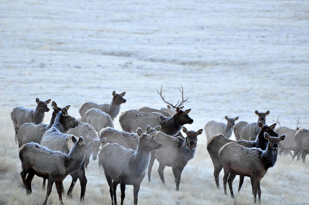 Herd of 41 Elk Perish After Falling Through Ice