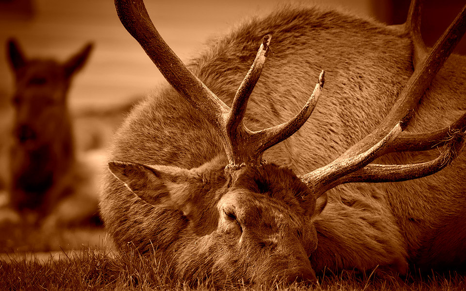 Elk in Texas Panhandle Tests Positive for Chronic Wasting Disease