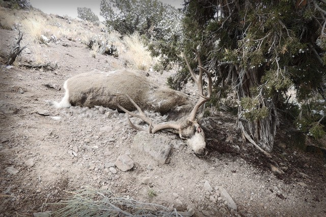 Nevada Dept. Of Wildlife Offers Cash Rewards in Wake of Illegal Mule Deer Killings