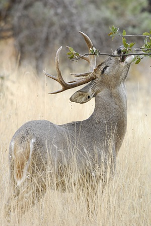 Arizona's Cervids Clear of Chronic Wasting Disease