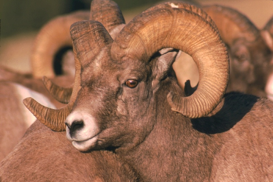 Four Bighorn Sheep Killed After Mixing with Domestic Sheep