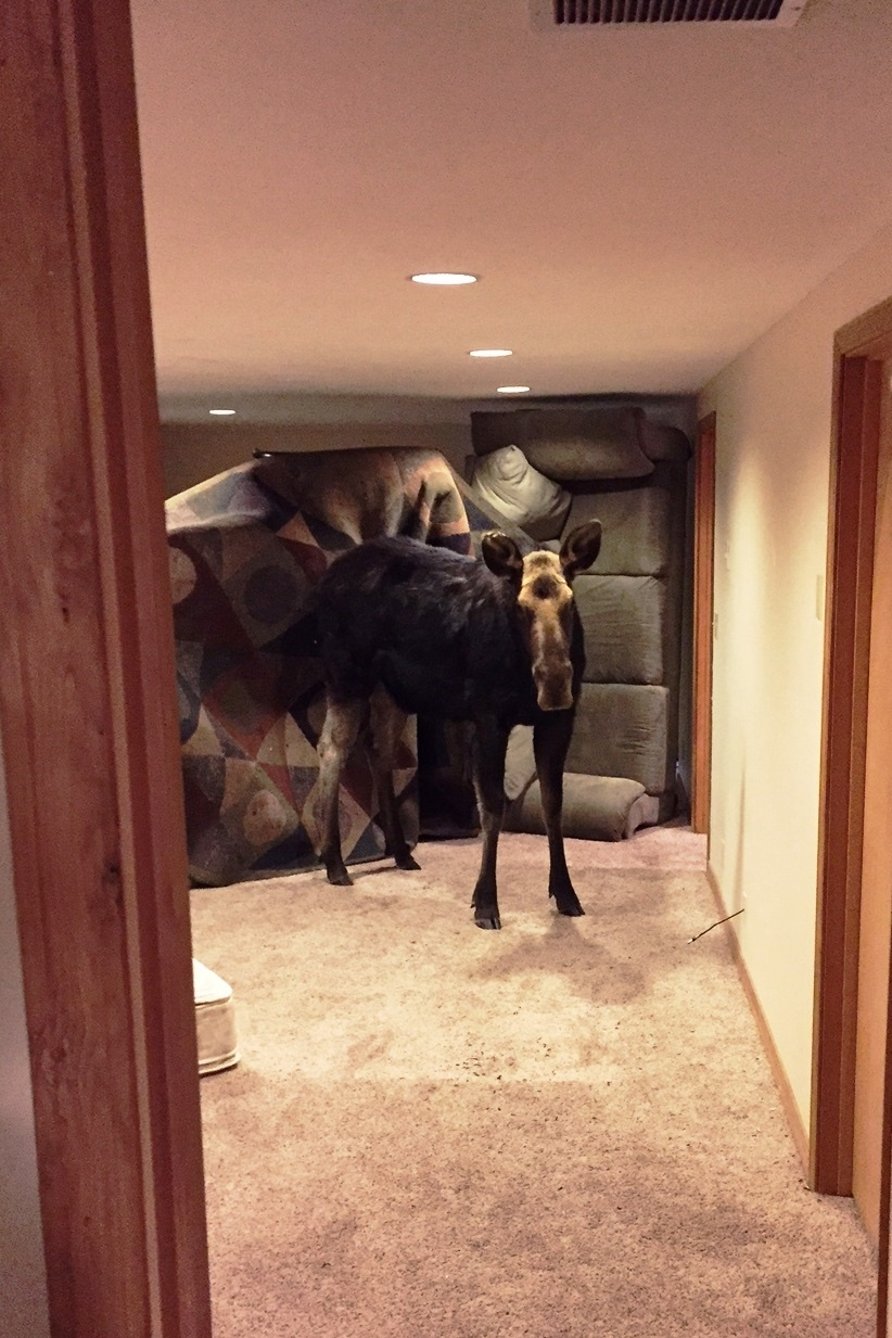 Idaho Moose Ends Up in Residential Basement
