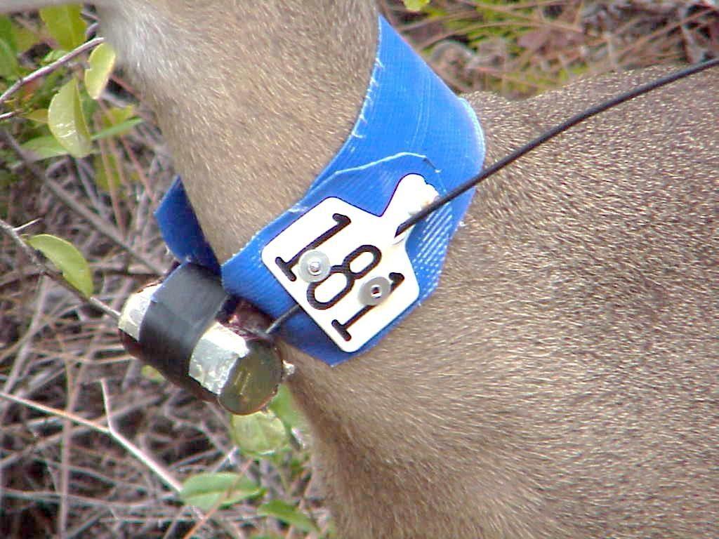key-deer-radio-collar-USFWS