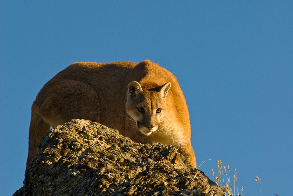 mountain-lion-arizona-mountains