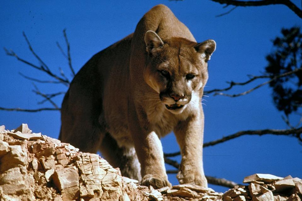 Environmental Group Sues Colorado Over Plan to Kill Lions & Bears