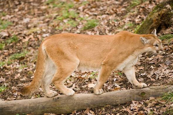 Saliva Found on Elk Carcass Confirms First Female Mountain Lion in Missouri Since 1994