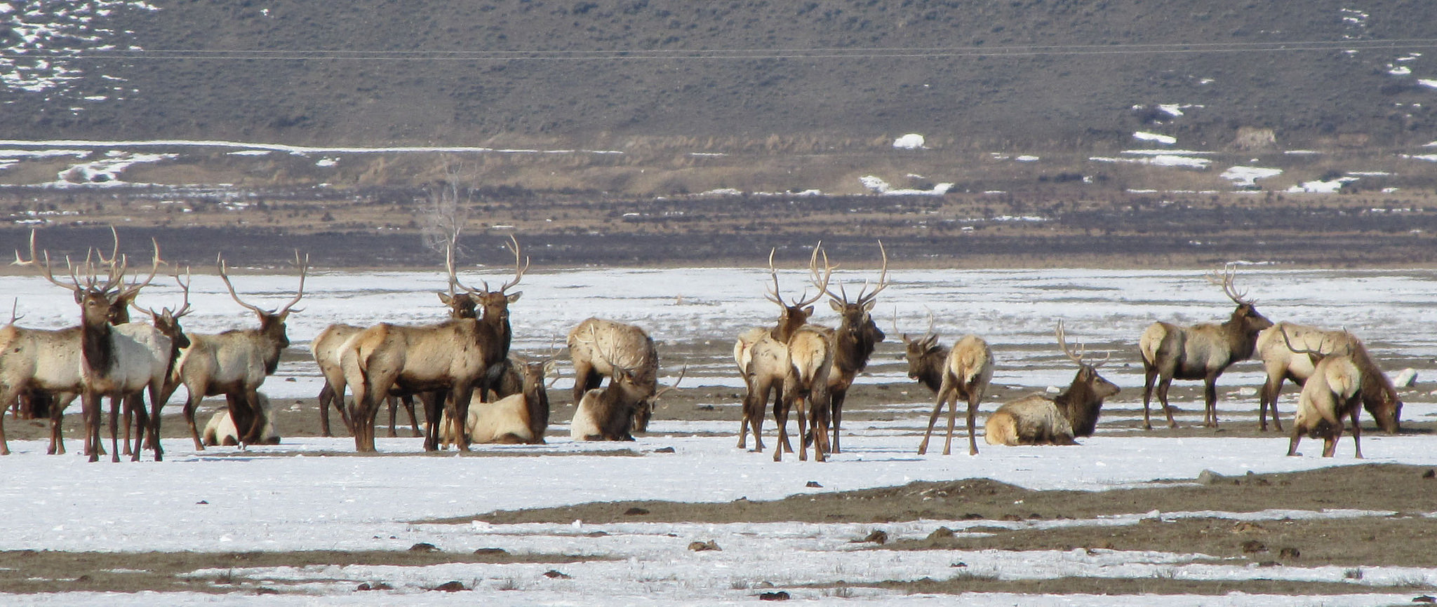 Drone Wreaks Havoc on Elk National Refuge