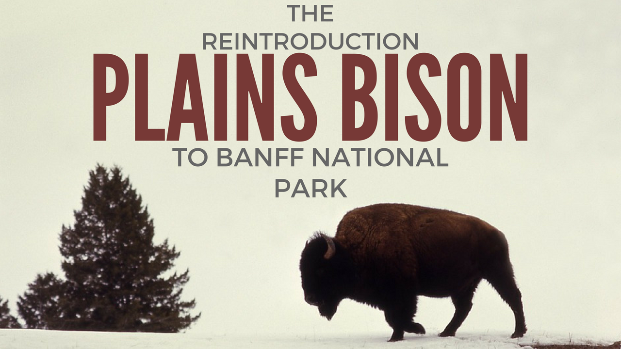 Bison Officially Return to Banff National Park